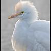 Koereiger/Cattle Egret
