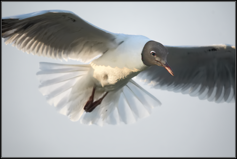 Kokmeeuw/Black-headed gull