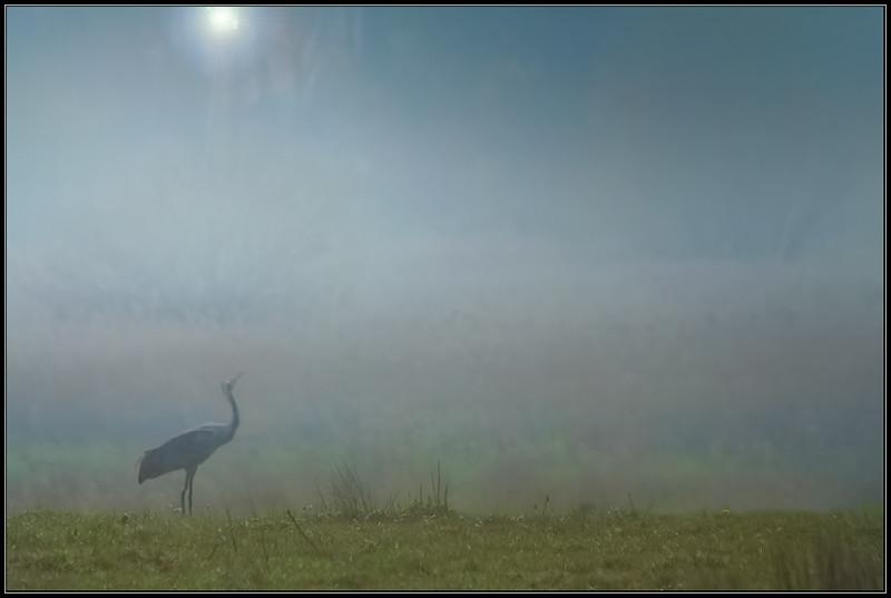Kraanvogel/ Common Crane