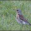 Kramsvogel/Fieldfare