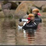Krooneend/Red-crested Pochard