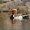Krooneend/Red-crested Pochard