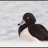 Kuifeend/Tufted Duck