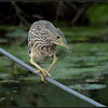 Kwak/Black-crowned Night Heron
