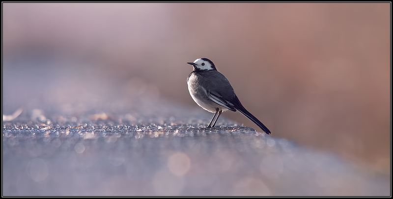 Kwikstaart/White wagtail