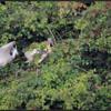 Lepelaar/Eurasian Spoonbill