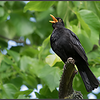 Merel/Common blackbird