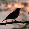 Merel/Common blackbird