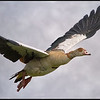 Nijlgans/Egyptian Goose
