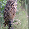 Oehoe/Eurasian eagle-owl