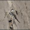 Oeverzwaluw/Sand Martin