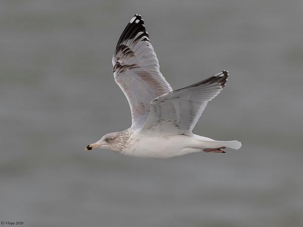 Zilvermeeuw (Herring Gull).