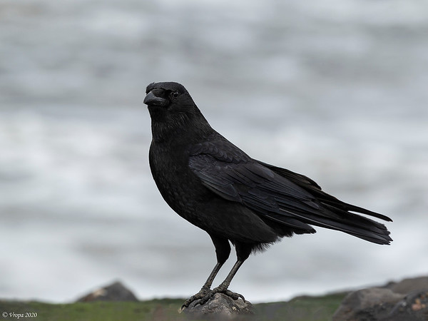 Kraai (Carrion Crow).