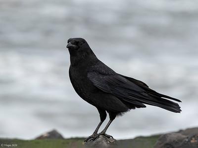 Kraai (Carrion Crow).