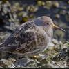 Paarse strandloper/Purple Sandpiper