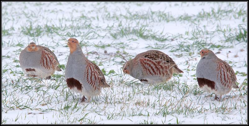 Patrijs/Grey Partridge