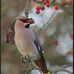 Pestvogel/Waxwing