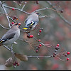 Pestvogel/Waxwing