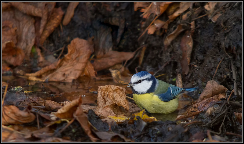 Pimpelmees/Blue Tit