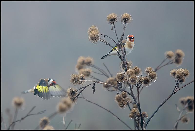 Putter/European Goldfinch