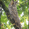 Ransuil/Long-eared owl