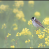 Rietgors/Common Reed Bunting