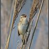 Rietzanger/Sedge warbler
