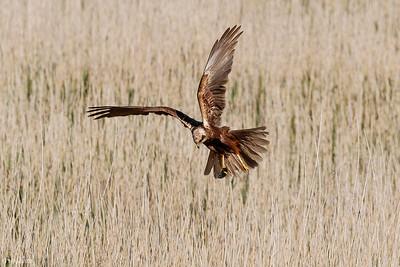 Bruine kiekendief (vrouwtje).