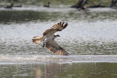 Visarend. Osprey 1K Rutland.
