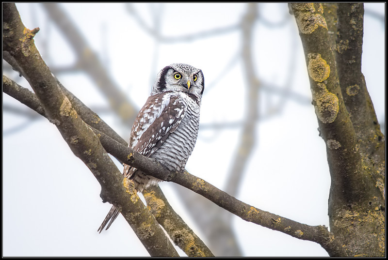Sperweruil/Northern Hawk Owl