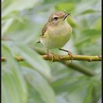 Spotvogel/Icterine Warbler