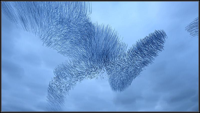 vliegspoor van spreeuwen/flight paths of starlings