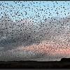 Spreeuw/Starling