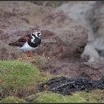 Steenloper/Ruddy Turnstone