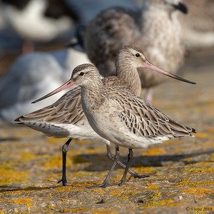 Rosse grutto (Bar-tailed Godwit).