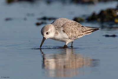 Drieteenstrandloper  (Sanderling).