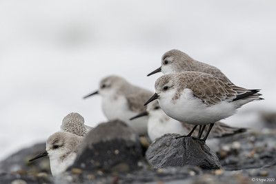 Drieteenstrandlopers (Sanderling).