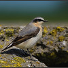 Tapuit/Northern Wheatear
