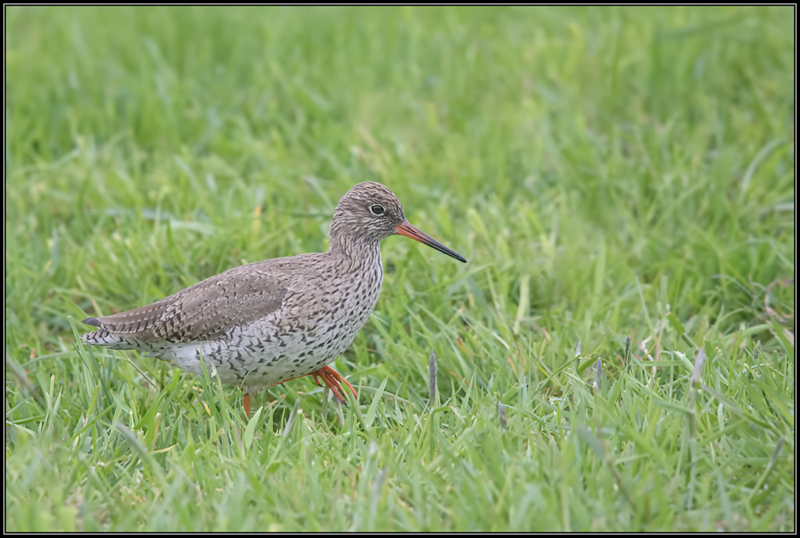 Tureluur/Common Redshank