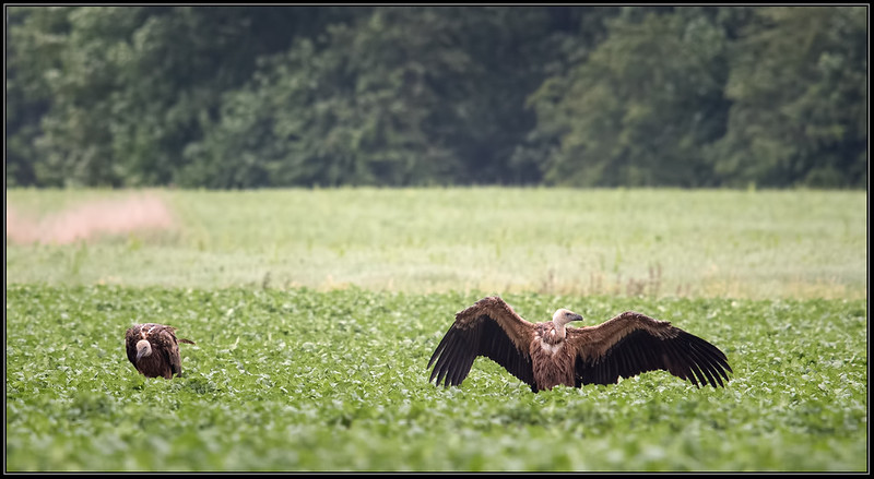 Vale gier/ Griffon vulture