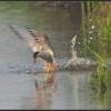 Visdief/Common Tern