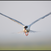 Visdief/Common Tern
