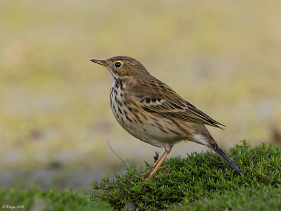 Graspieper (Meadow Pipit).
