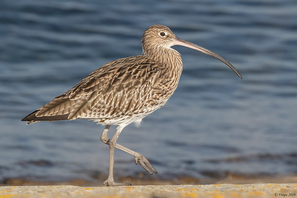 Wulp (Curlew).