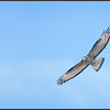 Wespendief/European honey buzzard