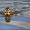Wilde eend/Mallard
