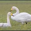 Wilde zwaan/Whooper Swan