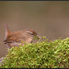 Winterkoning/Winter Wren