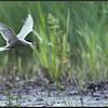 Witwangstern/Whiskered tern