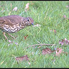 Zanglijster/Song Thrush